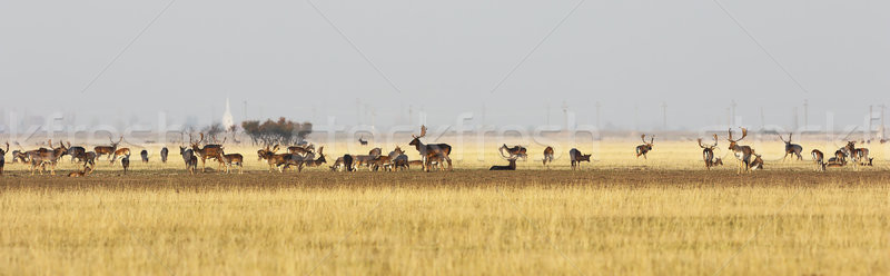 fallow deer herd in mating season Stock photo © taviphoto