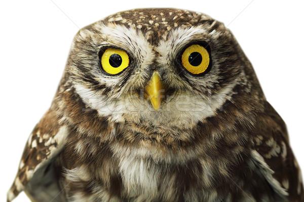 isolated owl portrait Stock photo © taviphoto