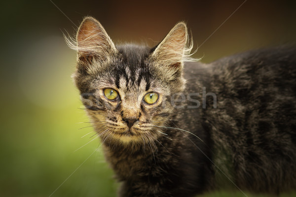 portrait of fluffy young domestic cat Stock photo © taviphoto