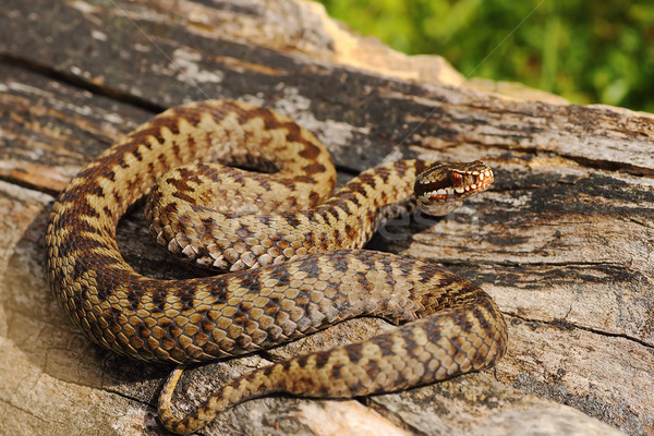 male common adder basking on wood Stock photo © taviphoto