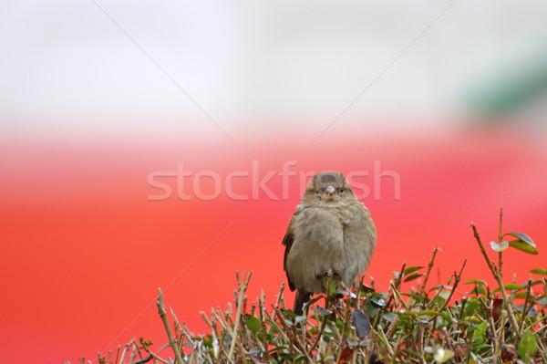 Feminino pardal arbusto verde vermelho fundo Foto stock © taviphoto