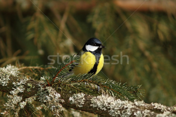 great tit in spruce tree Stock photo © taviphoto
