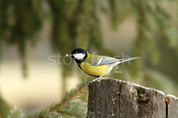 Stock photo: hungry great tit with seed in beak