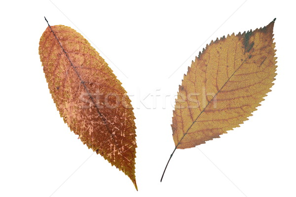 abstract grungy faded leaves Stock photo © taviphoto