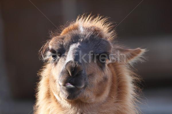 Lama hoofd portret uit focus natuur Stockfoto © taviphoto
