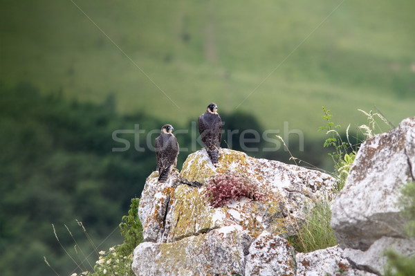 two falco peregrinus standing on a rock Stock photo © taviphoto