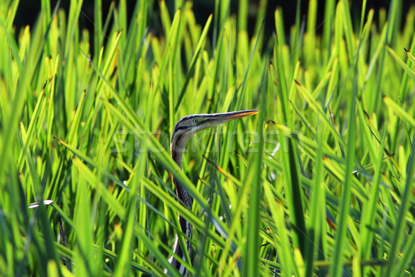 purple heron hiding  amongst reeds Stock photo © taviphoto