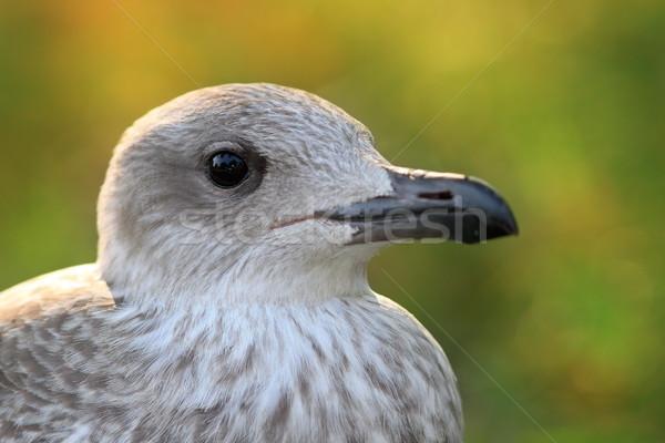 juvenile herring gull head Stock photo © taviphoto