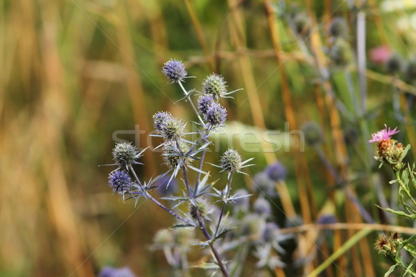 flat sea holly on a meadow Stock photo © taviphoto