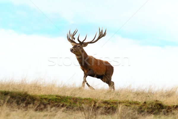 red deer buck running on top of a hill Stock photo © taviphoto