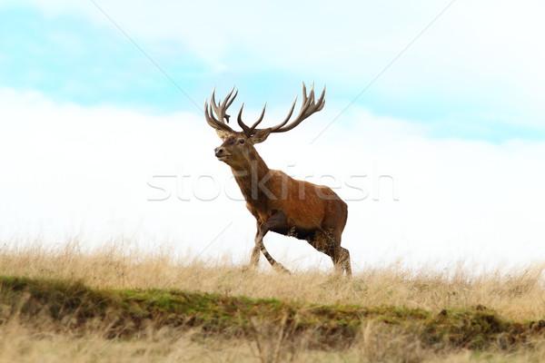 赤 鹿 バック を実行して 先頭 丘 ストックフォト © taviphoto