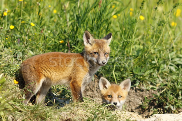 european fox cubs outside the burrow Stock photo © taviphoto