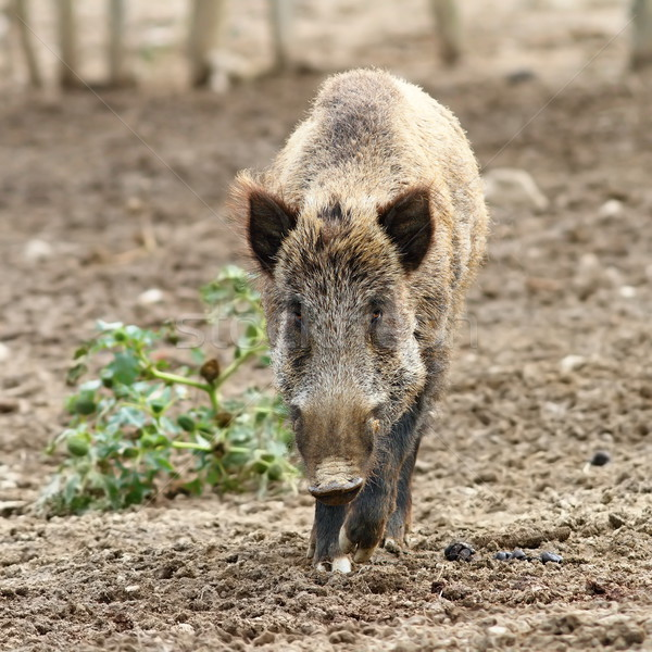 wild boar coming towards the camera Stock photo © taviphoto