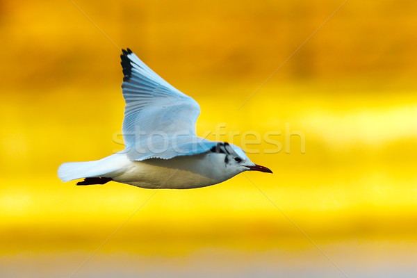 gull in flight over colorful out of focus background Stock photo © taviphoto