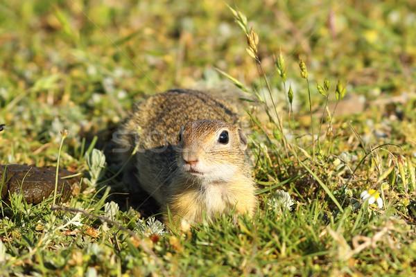 curious juvenile ground squirrel Stock photo © taviphoto