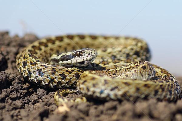 男性 草原 地上 美しい 自然 ヘビ ストックフォト © taviphoto