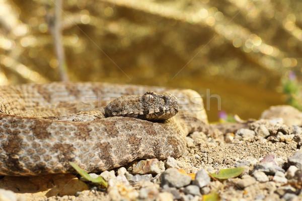 rarest european viper Stock photo © taviphoto