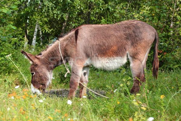 grazing donkey Stock photo © taviphoto