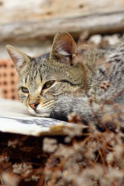 striped cat sleeping Stock photo © taviphoto