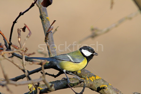 Stock photo: great tit standing on tree