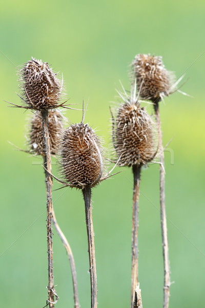 group of faded thistle Stock photo © taviphoto