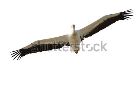 isolated pelican in flight Stock photo © taviphoto