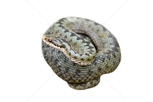 isolated female common adder Stock photo © taviphoto