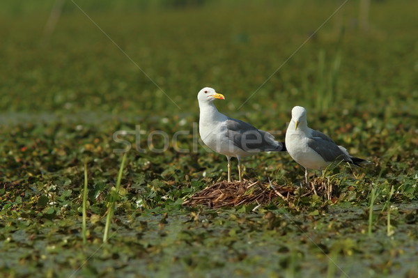 Stock photo: caspian gulls on the nest