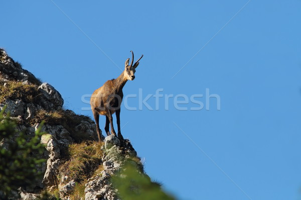 chamois on top of  mountain ridge Stock photo © taviphoto