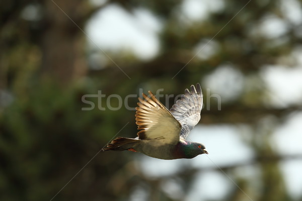 feral pigeon in flight Stock photo © taviphoto