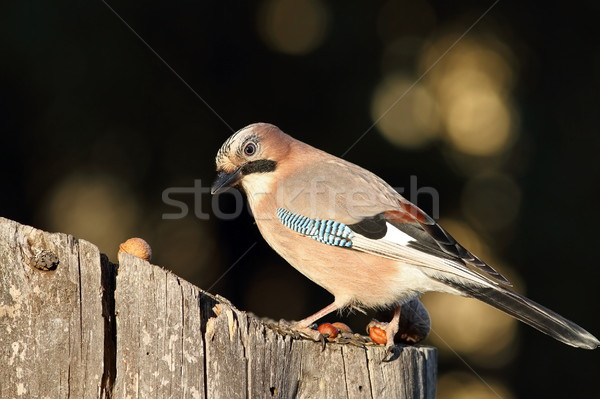 eurasian jay at bird feeder Stock photo © taviphoto