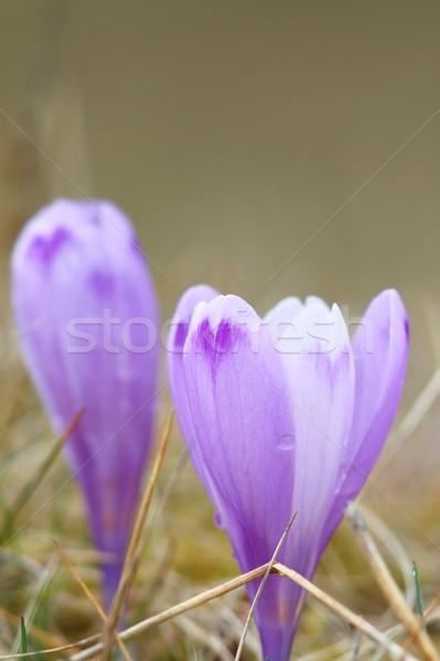 Primavera viola crocus uno primo fiori di primavera Foto d'archivio © taviphoto