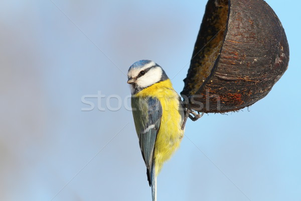 blue tit hanging on coconut feeder Stock photo © taviphoto