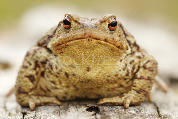 common toad portrait Stock photo © taviphoto