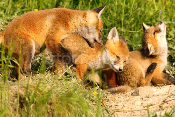 family of red foxes playing near the den Stock photo © taviphoto