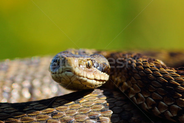 portrait of the rarest snake in europe Stock photo © taviphoto