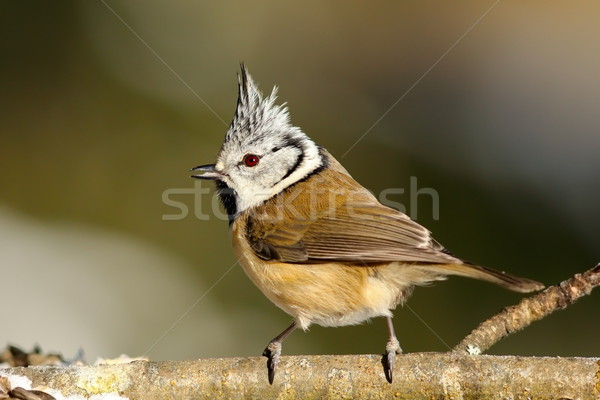 cute garden bird on a twig Stock photo © taviphoto