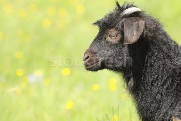 Stock photo: black goat kid