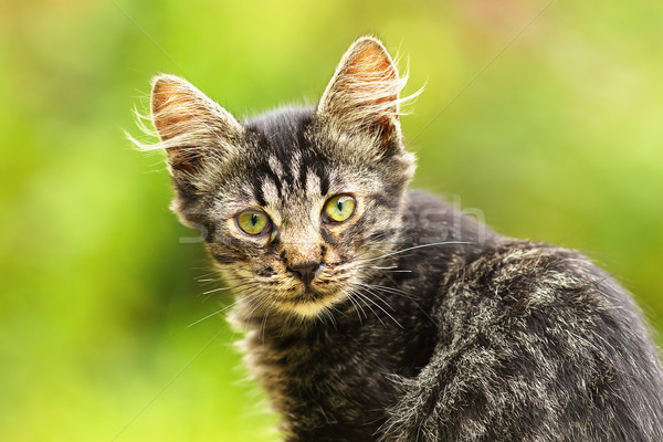 beautiful stripped kitten Stock photo © taviphoto