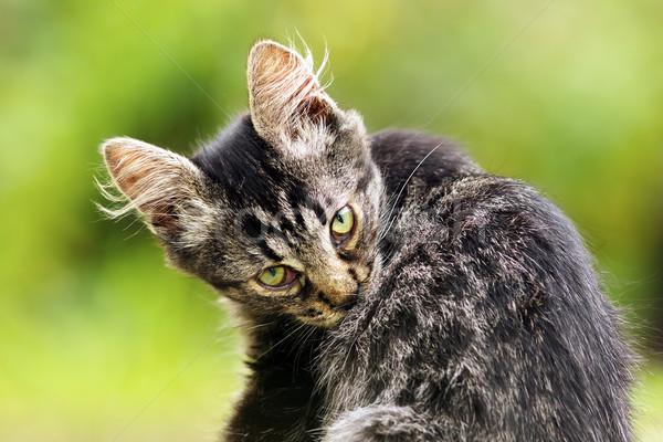 美しい 子猫 庭園 見える カメラ 猫 ストックフォト © taviphoto