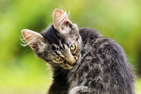 Belle chaton jardin regarder caméra chat Photo stock © taviphoto
