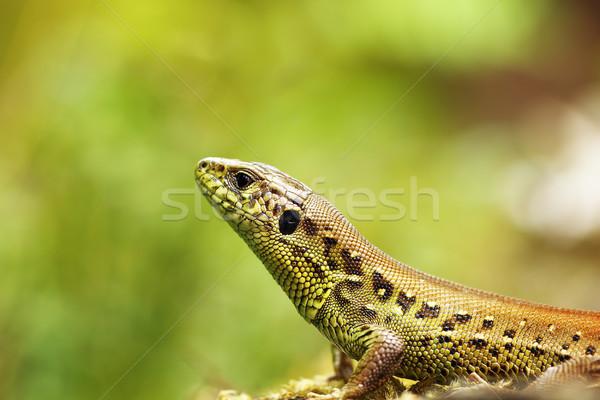 Foto stock: Macro · retrato · areia · lagarto · colorido · masculino