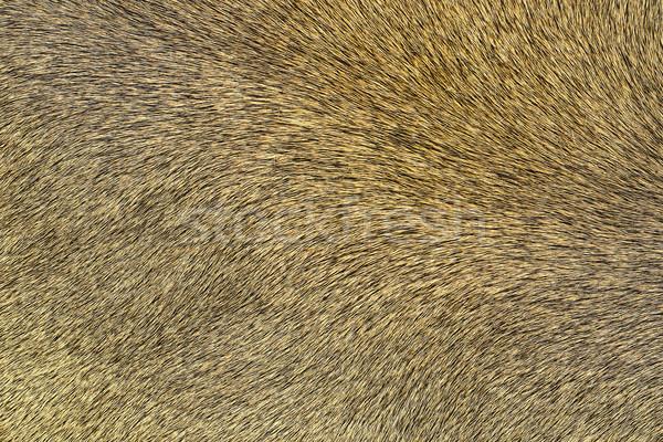 lion pelt texture Stock photo © taviphoto