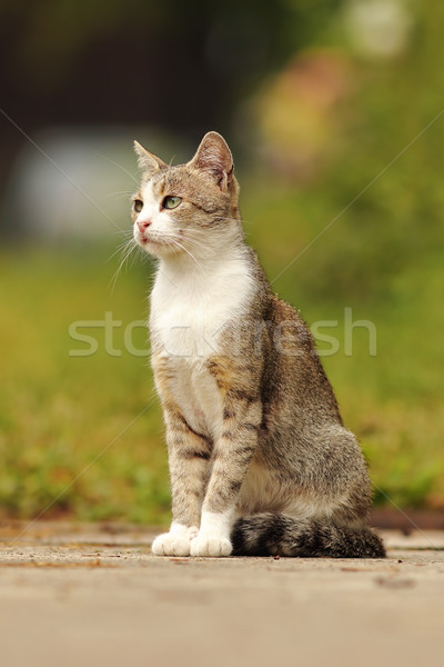 mottled domestic cat standing in the garden Stock photo © taviphoto