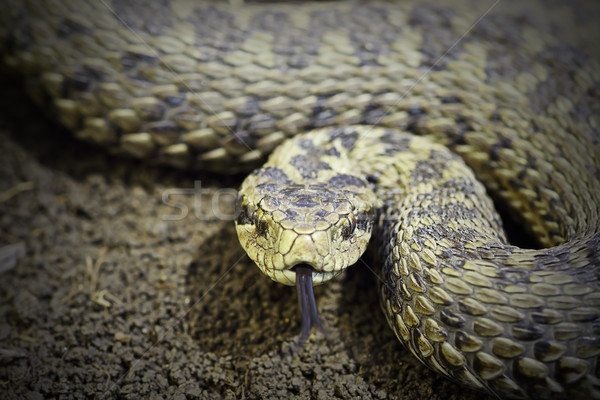 closeup of female meadow viper ready to attack Stock photo © taviphoto