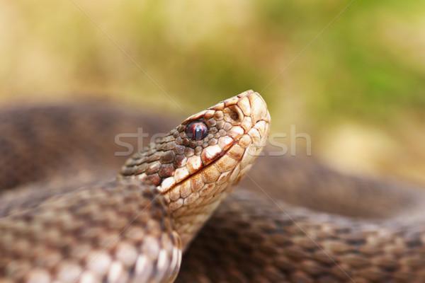 portrait of female common european viper Stock photo © taviphoto
