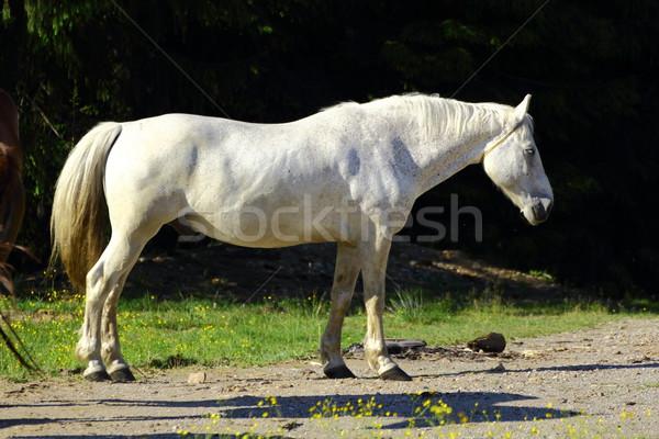 Gyönyörű fehér ló reggel fény természet ló Stock fotó © taviphoto