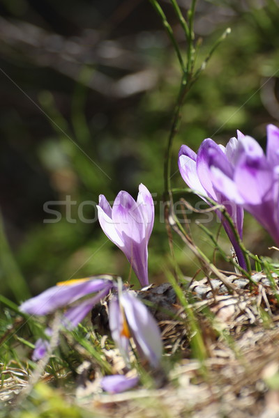 crocus sativus growing in early spring Stock photo © taviphoto