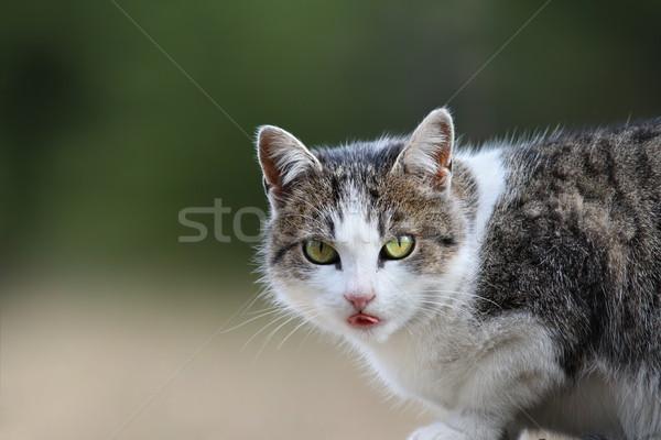 portrait of a domestic cat Stock photo © taviphoto