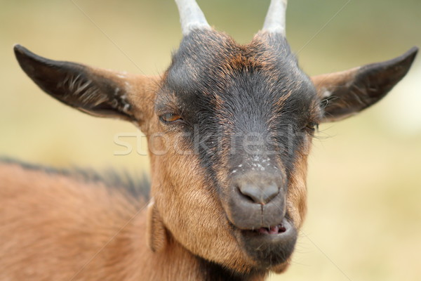 portrait of funny goat chewing Stock photo © taviphoto